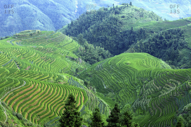 Rice field La Columna del Dragon
