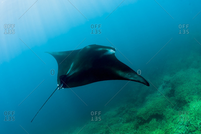 Reef manta ray - Offset Collection