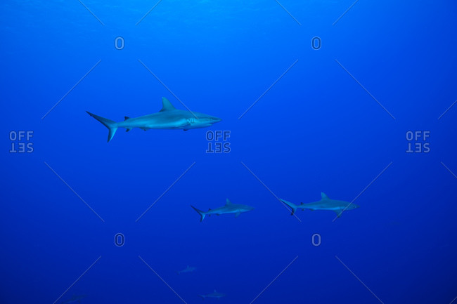 Grey reef sharks in blue water