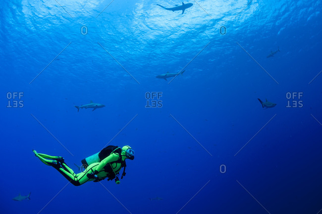 Diver with grey reef sharks