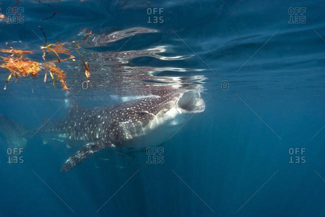 Whale shark eating plankton - Offset