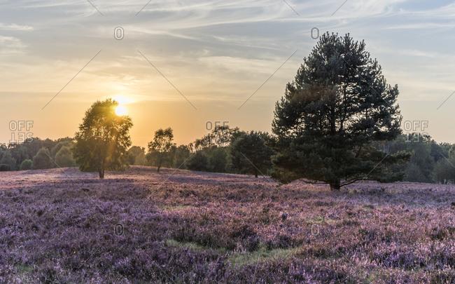 Lueneburg Heath in the evening light