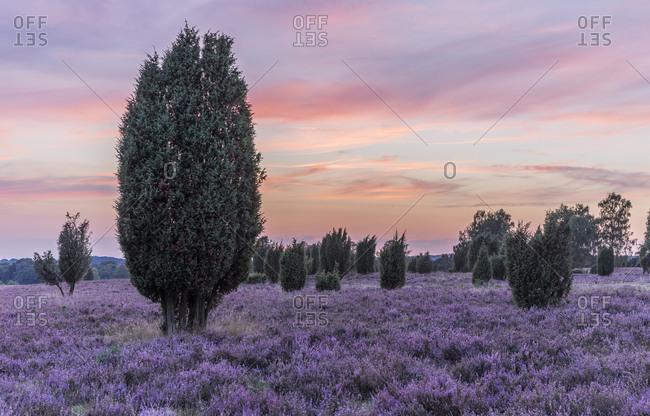 Lueneburg Heath after sunset