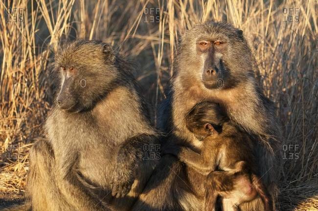 Baboon family with an infant
