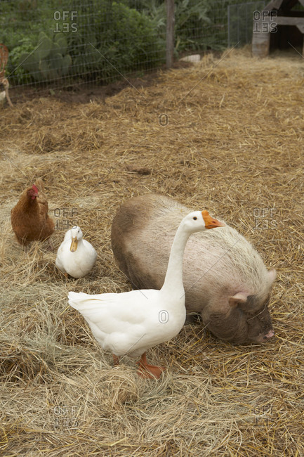 Various farm animals in a hay covered pen