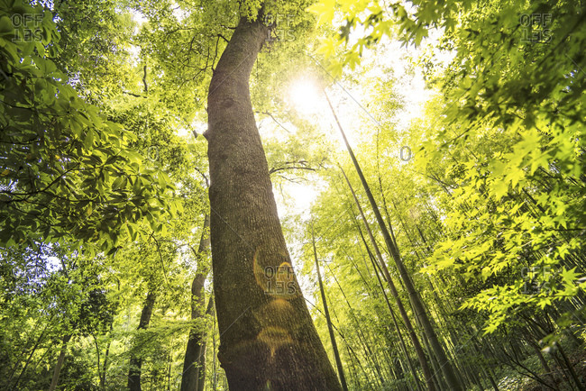 Low angle view of one of the very old trees at YunQi Bamboo Forest