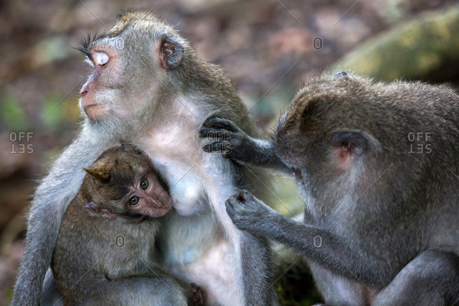 A macaque monkey grooms a female macaque while she breast feeds her infant in the Sacred Monkey Forest in Ubud on the island of Bali in Indonesia