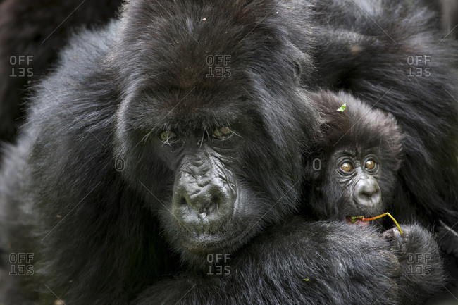 A female mountain gorilla engulfs her three month-old infant in an embrace in the jungle of Rwanda's Virunga Mountains