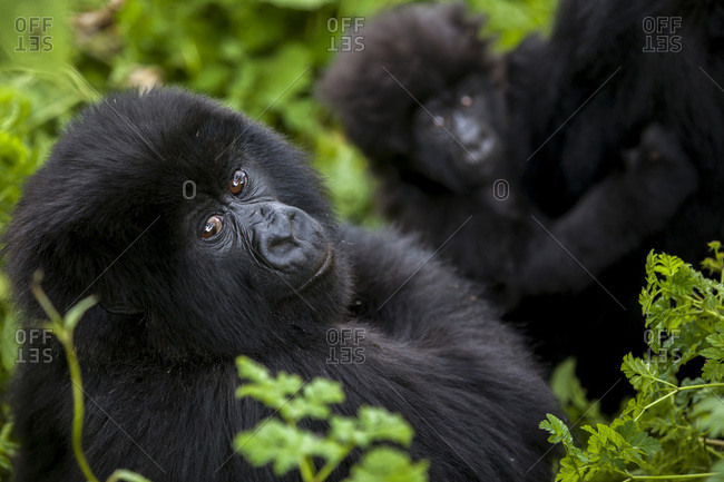 A juvenile gorilla and an infant are surrounded by the lush green vegetation of Rwanda's Virunga mountains