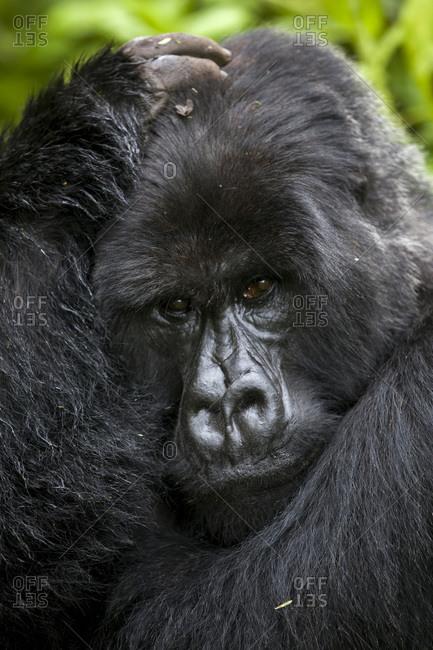A silverback mountain gorilla cradles his head in the jungle of Rwanda's Virunga Mountains