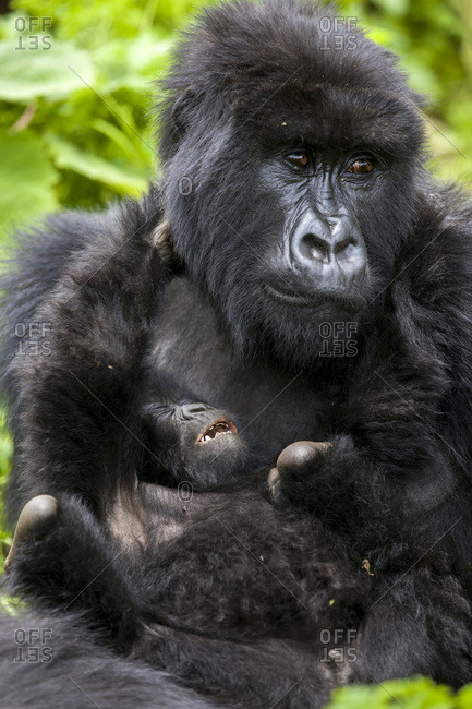 A mother gorilla looks exhausted as her infant tries to wrestle with her Young gorillas are known for their playful behavior, often somersaulting over the adults' bodies and wrestling with each other This playful behavior teaches young gorillas how to interact within the group and adult gorillas encourage their play