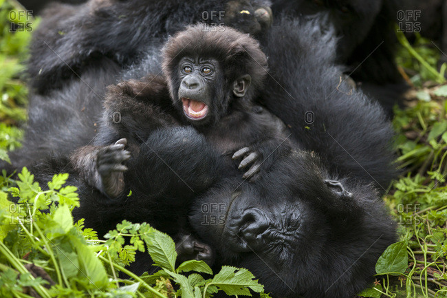 A three month-old mountain gorilla demands attention from his mother while she tries to take a nap