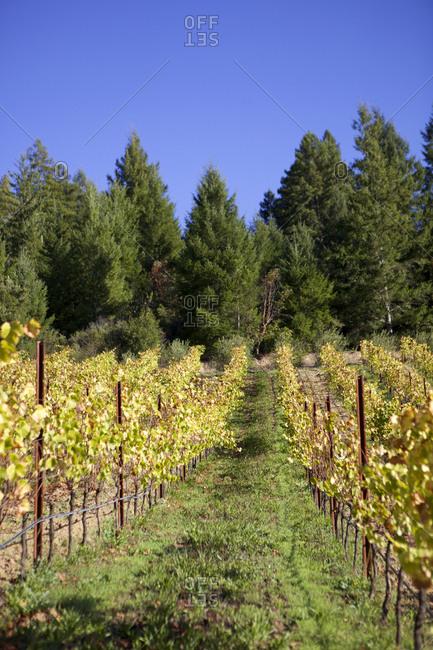 Grapevines on vineyard