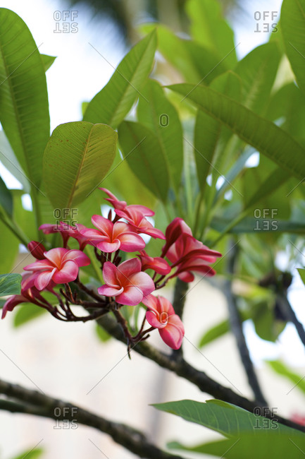 Tropical pink flowers on a tree