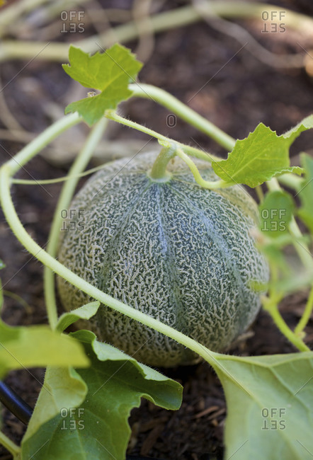 Close up of growing cantaloupe