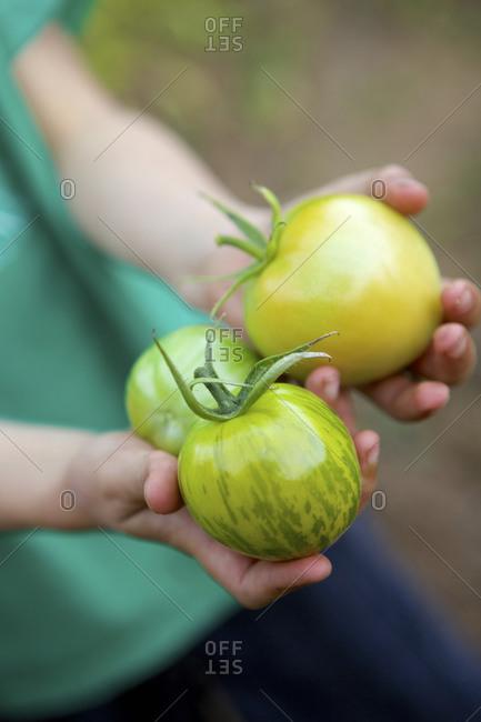A boy holds freshly harvested tomato