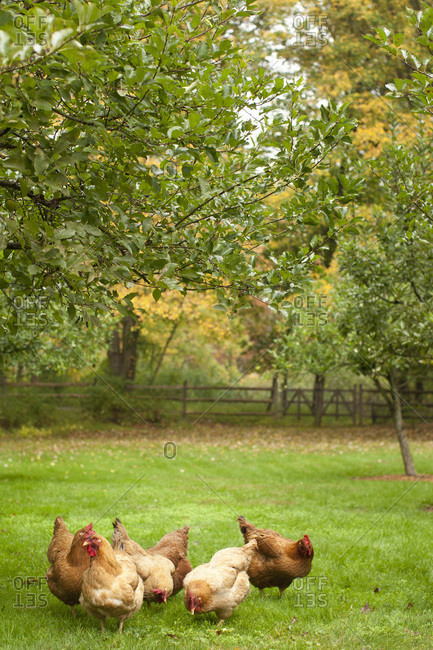 Chickens pecking on a grassy field