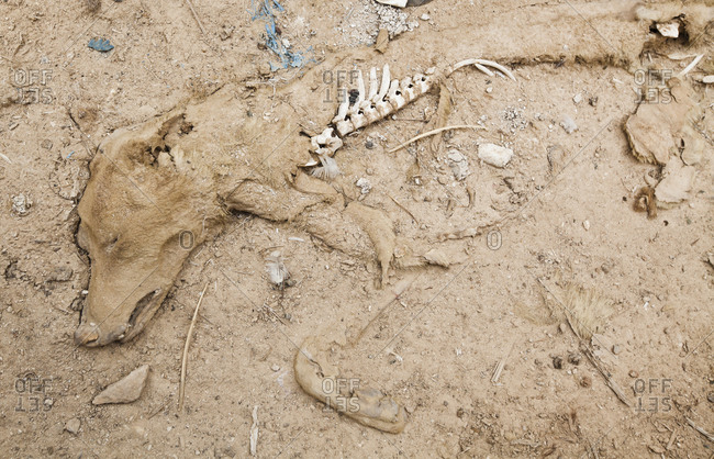 Skeleton of partially decayed dog in desert