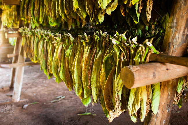 Tobacco leaves hang to dry inside a thatch-roofed hut in the Vinales valley in Cuba