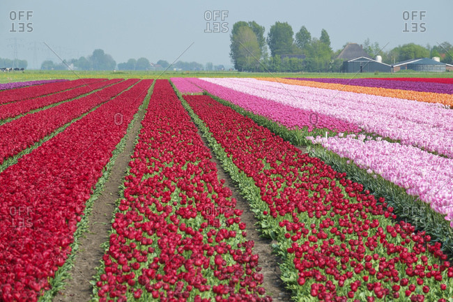 Colorful tulip fields near village of Ursem