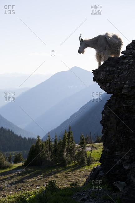 A mountain goat walks along a cliff in Glacier National Park, Montana