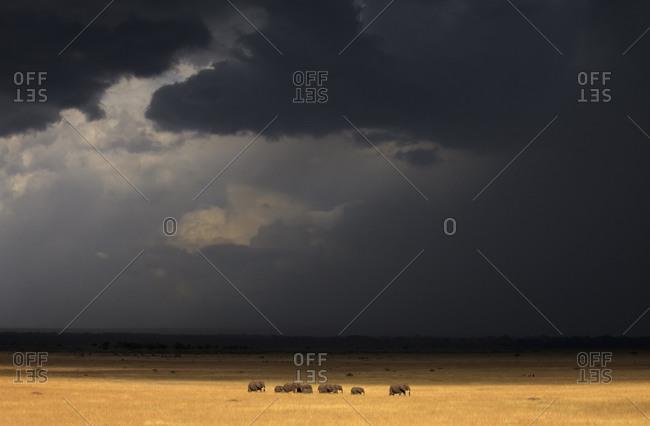 A herd of elephants (Loxodonta) under stormy skies in Kenya's Masai Mara