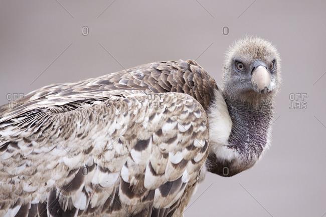 A White-backed Vulture (Gyps africanus) in Kenya's Masai Mara