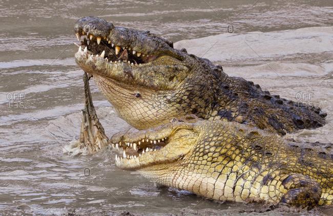 Two Nile Crocodiles (Crocodylus niloticus) eating a wildebeest in Kenya\'s Masai Mara