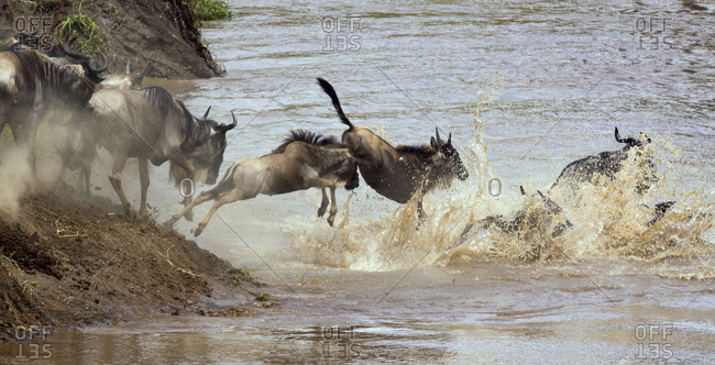 A group of Wildebeest (Connochaetes) attempt a river crossing in Kenya's Masai Mara