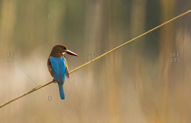 A White-throated Kingfisher (Halcyon smyrnensis) in India's Bandhavgarh National Park