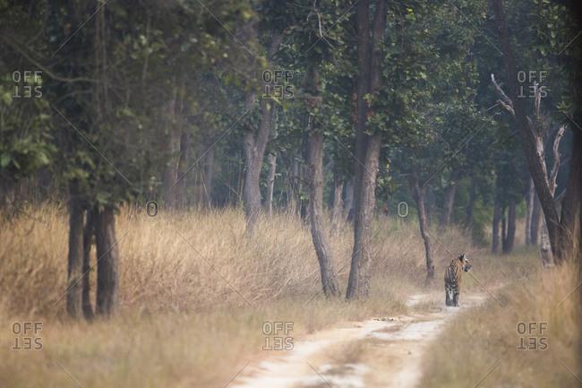 A Bengal Tiger (Panthera tigris) in Bandhavgarh National Park in India
