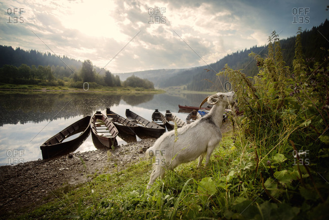 Goat grazing near wooden rowboats in river