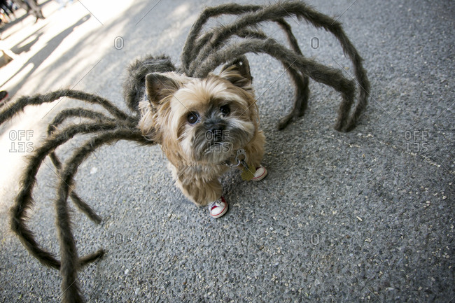 Yorkshire Terrier wearing a spider costume