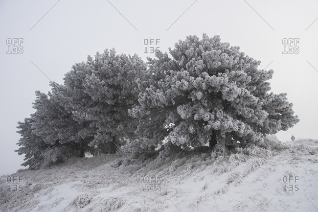 A small grove of trees covered in snow