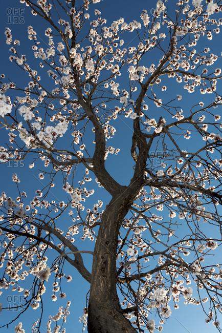 A blossoming cherry blossom tree