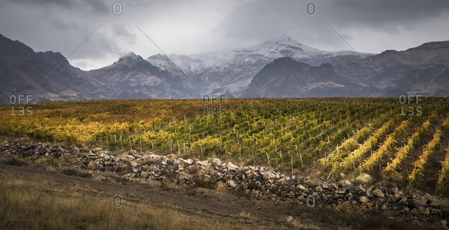 A vineyard in front of  mountains
