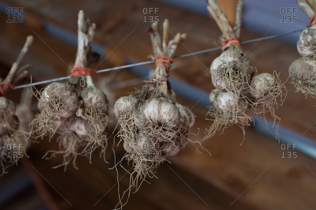 Garlic hung out to dry