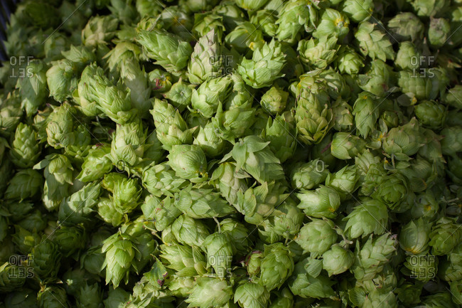 Close up of fresh hops