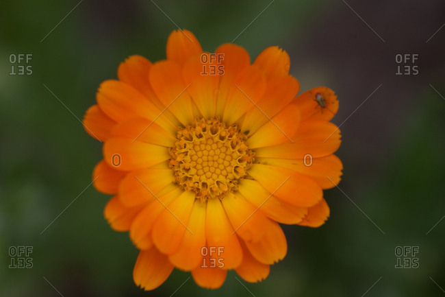 Close up of marigold