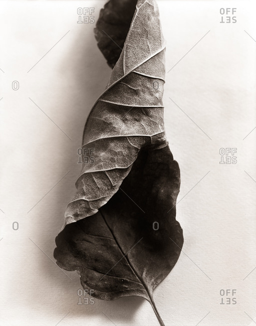 Dried leaf in a spiral in the studio
