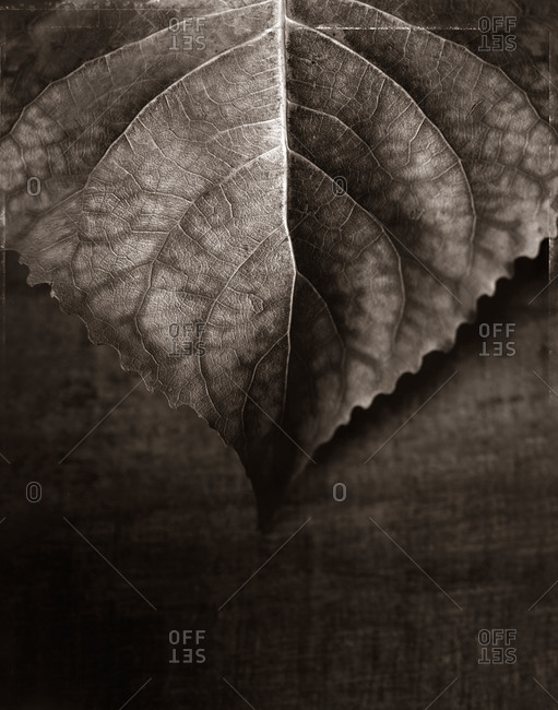 Close up of a leaf in the studio