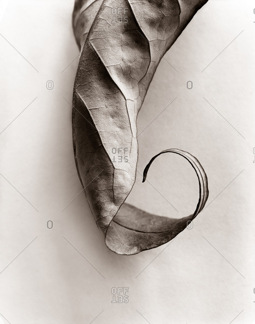 Curled tip of a leaf in the studio