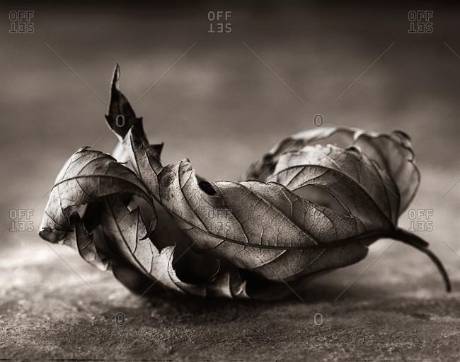 Gnarled leaf in the studio