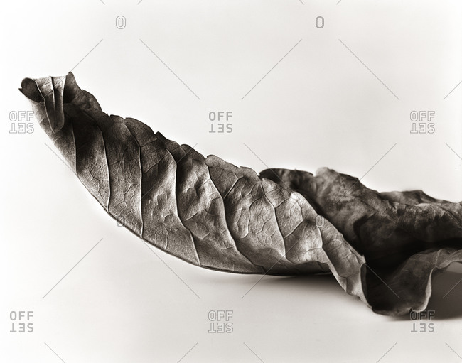 Curled leaf in the studio