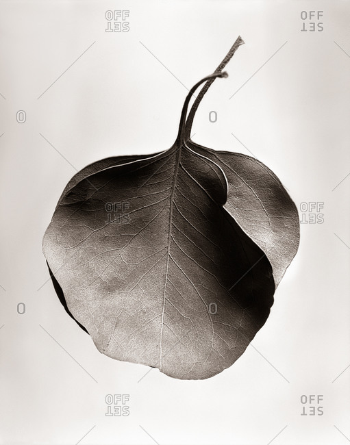 Two leaves in the studio