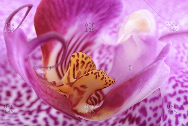 Phalaenopsis, close-up