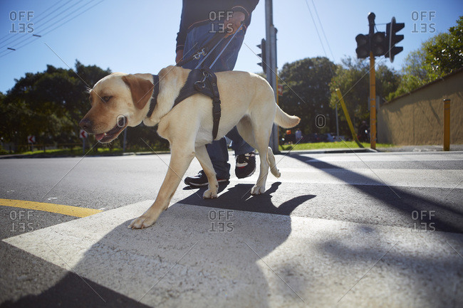 Visually impaired man crossing a street with his guide dog