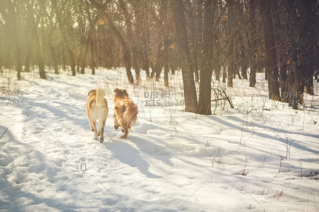 Dogs walking in a snowy forest