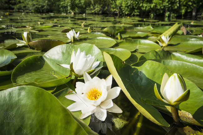 Swamp full of lotus