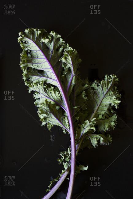 Fresh kale leaves on black background